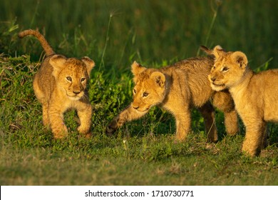 Three lion cubs play fight on grass