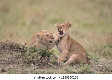Three lion cubs playing in a savannah in Masai Mara Game Reserve, Kenya