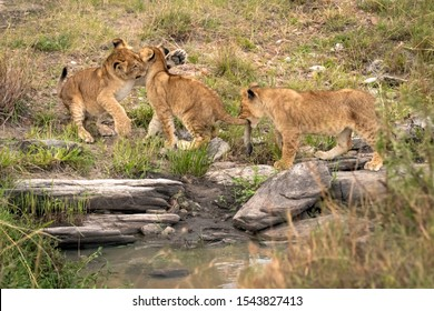 Three lion cubs playing as they cross some rocks over a stream.  The first cub swats the face of the second cub with its paw, while the third cub holds the second cub's tail in its mouth.