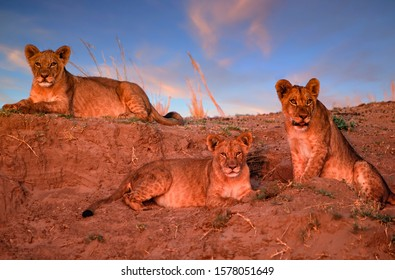 Three lion cubs in Zimbabwe