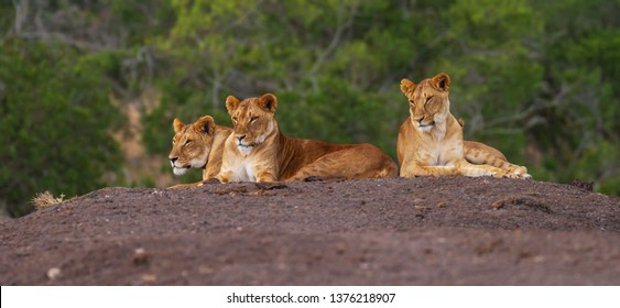 Three lions stretched out on mound resting, one with tracking collar device on neck, heads up, Ol Pejeta Conservancy, Kenya, Africa. Panthera leo, lion conservation, copy space