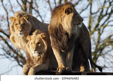 Three lions in the sun