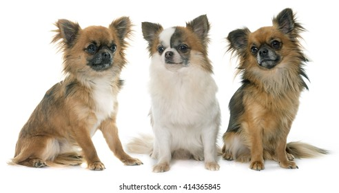 three little chihuahua in front of white background