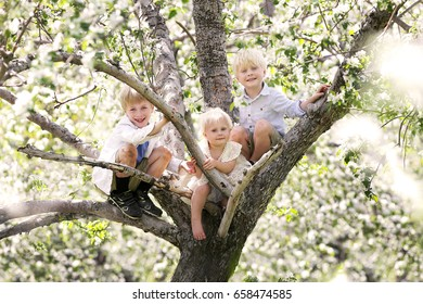 Three little children, 2 brothers and their toddler sister are sitting in a white flowering apple tree that they have climbed on a spring day, outside.