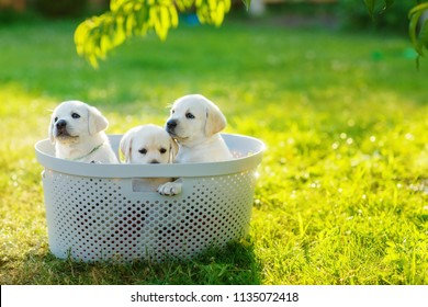 three little cute puppies sitting in a basket in the middle of the lawn