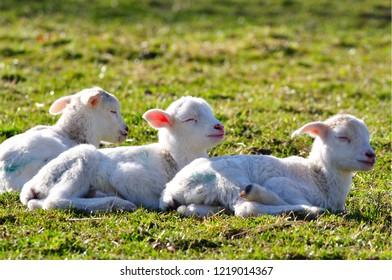 Three little drowsy lambs, Katahdin breed, family farm, Webster County, West Virginia, USA