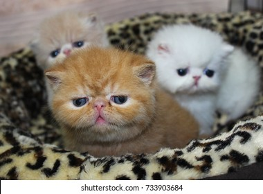 Three little Exotic Shorthair Kittens: Red Tabby, Cream, and White.