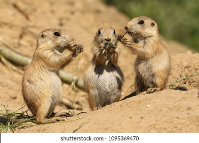Three little prairie dogs eating together