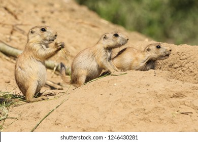 Three little prairie dogs looking to the right