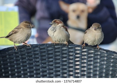 Three little sparrows waiting on the edge of a chair for fallen or left food on a terrace in Katwijk