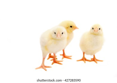 Three little yellow chicks walk on isolated white background