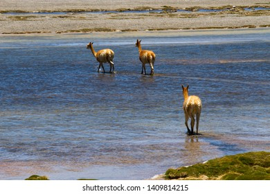 Three llamas crossing the river