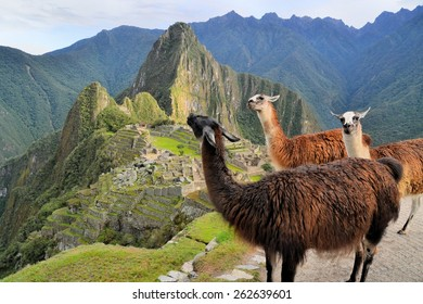 Three Llamas in front of Machu Picchu, the famous lost city of the Incas near the river Urubamba located in the region of the sacred valley of Cuzco. Machu Picchu is a UNESCO world heritage site and