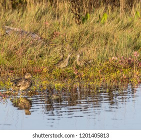 Three long-billed dowitcher shorebirds