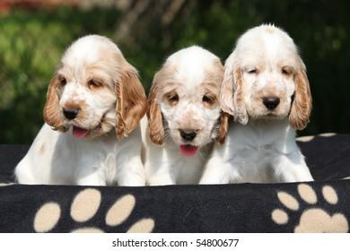 Three looking English cocker spaniel puppies on dark background