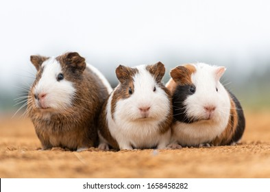 Three lovely guinea pigs on the loess ground