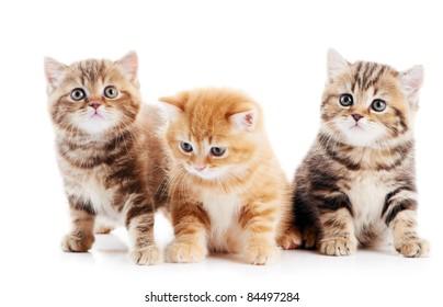 Three lying british shorthair kittens cat isolated