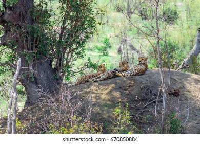 Three Cheetah's lying relaxing on a big boulder during the day, South Africa