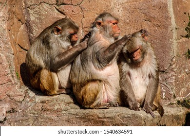 Three macaques sitting in a row and grooming each other