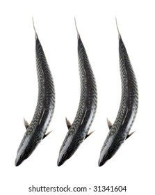 three Mackerel fish from above on white background