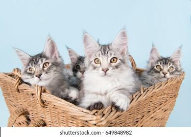 Three maine coon kittens in old vintage basket