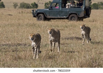 Three male cheetah walking the savannah in the Masai Mara (safari vehicle in background).