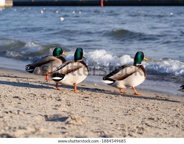 trzy-samce-kaczek-morskich-600w-1884549685.