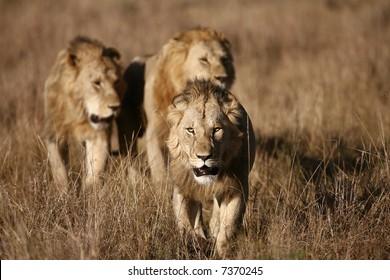 Three Male Lions