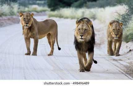 Three male lions walking down a road