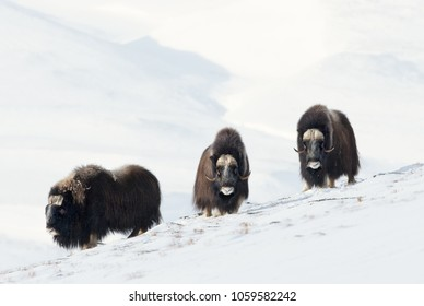 Three male Musk Oxen (Ovibos moschatus) standing in snowy Dovrefjell mountains during cold winter in Norway.