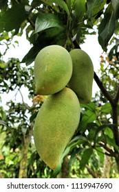 Three mangoes on the mango tree.