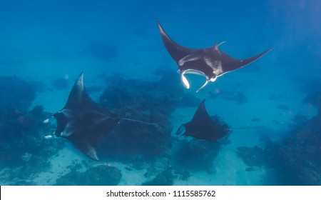 Three manta rays doing a manta train in a love parade on the great barrier reef in Australia near Lady Elliot Island.