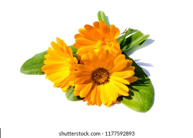 Three marigolds with leaves isolated on white background