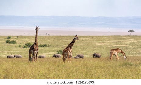 Three Masai giraffes in Kenya Africa with row of elephants walking in background