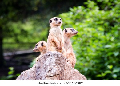 Three Meerkat standing on a Rock and keeping lookout