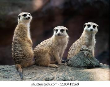 three meerkat ( Suricata suricatta ) sitting on the rock