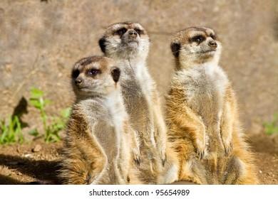 Three Meerkats in captivity looking up