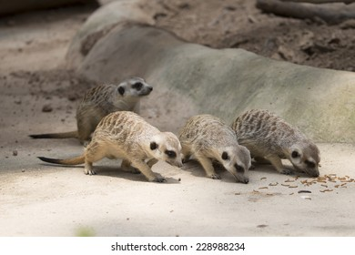 Three meerkats feeding on worms