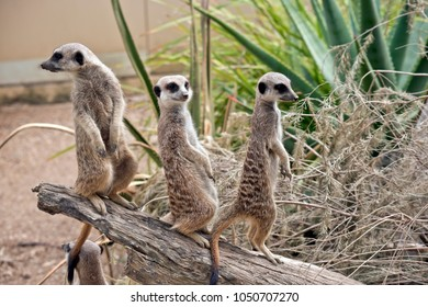 the three meerkats are standing guard
