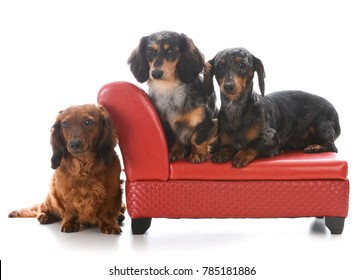 three miniature dachshunds on a red leather couch
