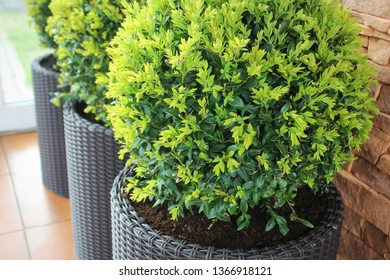 Three modern pots with spherical trimmed decorative Buxus tree