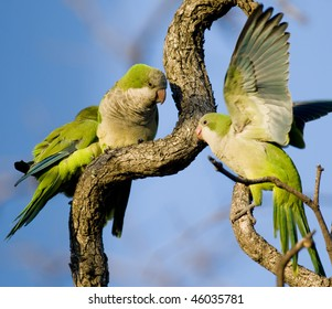 Three Monk Parakeets perched and interacting in a tangle of branches - Buenos Aires.