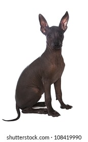 Three month old Mexican xoloitzcuintle puppy over white background