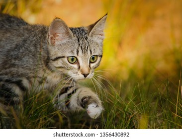 Three month old tabby Domestic Shorthair kitten outdoor portrait walking through grass
