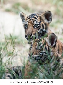 Three month old tiger cubs