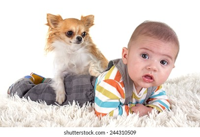 three months baby and chihuahua in front of white background
