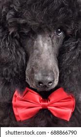 Three months old puppy of Standart black poodle in red necktie