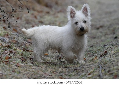 Three months old West Highland White Terrier in forest on a frosty morning