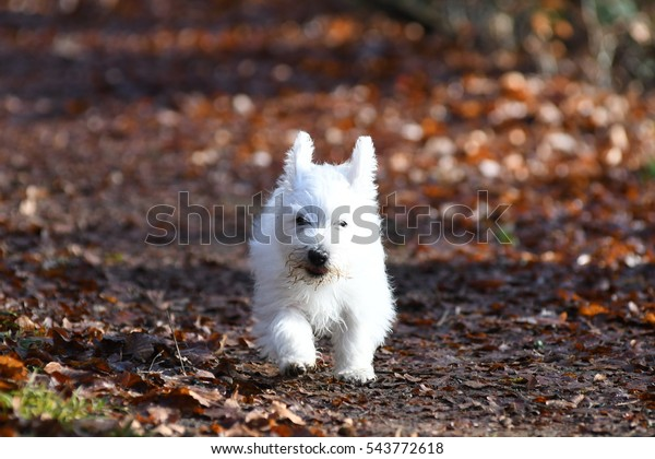 Three months old West Highland White Terrier in forest