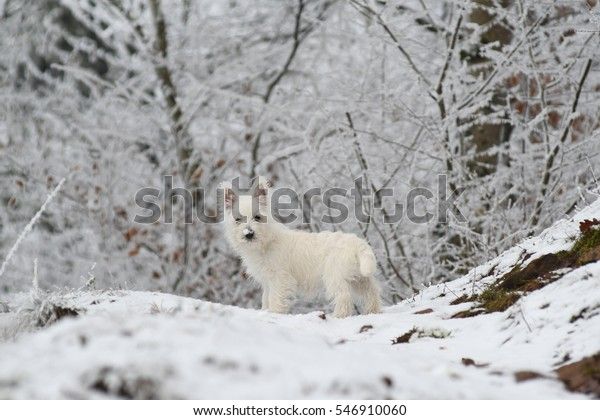 Three months old West Highland White Terrier in the snow